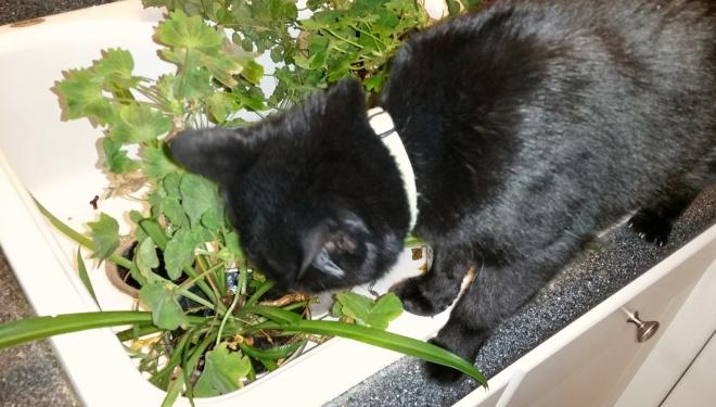 lilo the cat eating houseplants