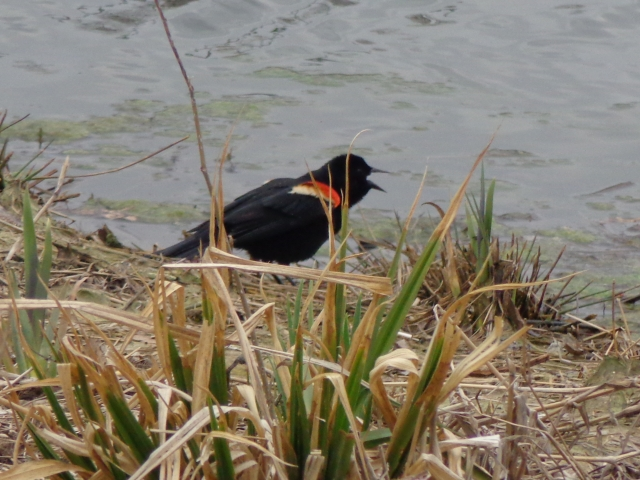 Redwinged blackbird on shore of pond.