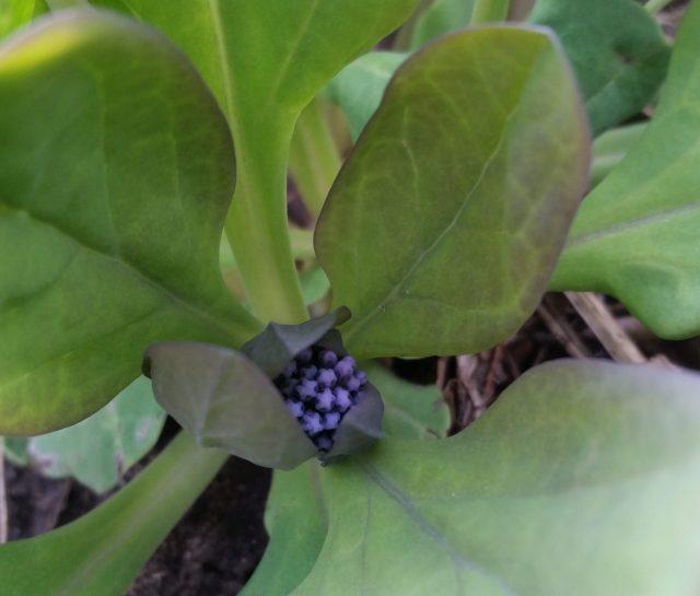 Virginia bluebell